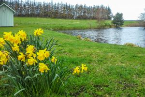 More daffodils down by the lochan at Springburn Cabins